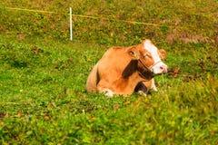 Uma vaca lânguido em Murren Fotografia de Stock