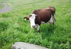 Uma vaca marrom em um campo imagem de stock royalty free