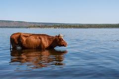 Uma vaca marrom está estando no Rio Volga e está freshing nele no dia de verão quente fotos de stock royalty free