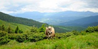 Uma vaca nas montanhas Imagens de Stock