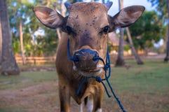 Uma vaca nova Imagens de Stock Royalty Free