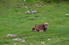 Uma vaca nova marrom encontra-se em um verde do prado da montanha cercada por flores amarelas minúsculas e por olhares na câmera imagem de stock royalty free