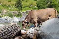 Uma vaca que bebe em um rio no espanhol Pyrenees fotografia de stock