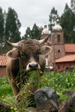 Uma vaca que come a grama Imagem de Stock