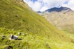 Uma vaca que encontra-se na grama altamente nas montanhas Foto de Stock Royalty Free
