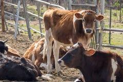 Uma vaca que está três vacas que encontram-se para baixo fotografia de stock royalty free