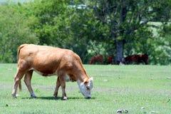 Uma vaca que pasta foto de stock