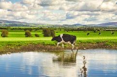 Uma vaca que pisa de um rio no pasto imagens de stock royalty free