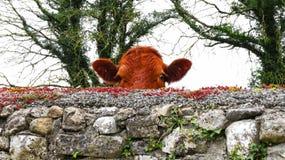 Uma vaca vermelha que espreita em mim sobre de uma parede no rathcline, condado Longford do lanesborough Imagens de Stock Royalty Free