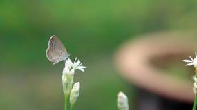 Uma vara branca pequena da borboleta em uma flor branca Foto de Stock