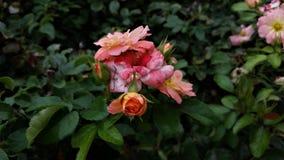 Uma variedade de rosas coloridas diferentes imagem de stock