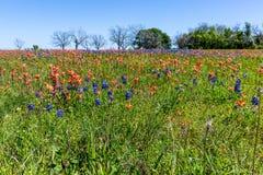 Uma variedade de Wildflowers coloridos em Texas fotografia de stock
