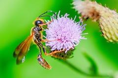 Uma vespa colorida Foto de Stock