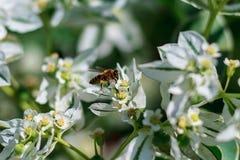 Uma vespa em uma flor branca recolhe o mel e o néctar doce fotografia de stock