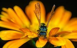 Uma vespa em um fim da flor acima foto de stock royalty free