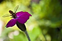 Uma vespa em uma flor cor-de-rosa fotos de stock