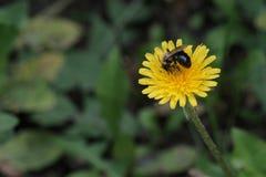 Uma vespa ou uma abelha recolhem o néctar em uma flor amarela do dente-de-leão verão Fundo da grama verde DOF pequeno Copie o esp imagens de stock