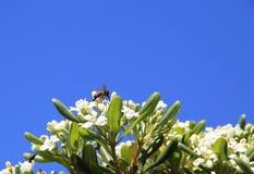 Uma vespa pequena Imagem de Stock