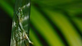 Uma vespa que ataca e que come girinos da rã de vidro, os ovos da rã de vidro fotos de stock royalty free