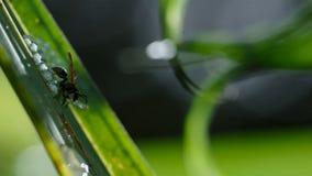 Uma vespa que ataca e que come girinos dos ovos da rã de vidro da rã de vidro fotos de stock