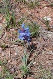 Uma vez em uma flor azul Fotografia de Stock