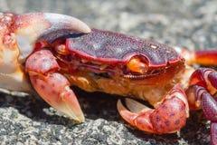 Uma vida Crabby fotografia de stock royalty free