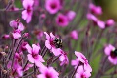 Uma vida das abelhas Foto de Stock
