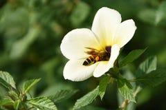 Uma vida de uma abelha foto de stock royalty free
