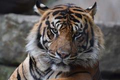 Uma vida do ` s do tigre fotografia de stock royalty free