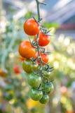 Uma videira dos tomates imagens de stock