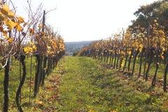uma vinha em um campo no outono fotografia de stock