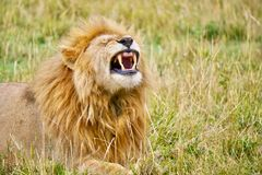 Uma visão clara dos dentes caninos afiados de um leão masculino foto de stock royalty free