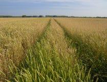 Uma vista da trilha do carro que corre através do campo de trigo amarelo à floresta distante imagens de stock
