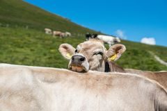 Uma vista da vaca Imagem de Stock