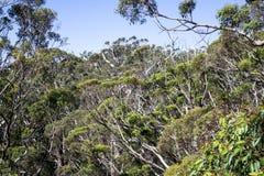 Uma vista das árvores gigantes na caminhada da parte superior da árvore em Walpole fotos de stock