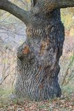 Uma vista do tronco de carvalho em uma floresta do outono foto de stock