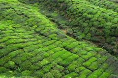 Uma vista em plantas de chá de Cameron Highlands foto de stock royalty free