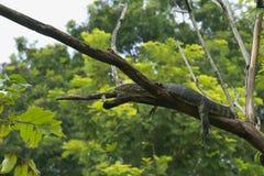 Uma vista estranha, incomum e um tanto alarming de um grande lagarto de monitor, altamente acima em uma árvore foto de stock royalty free