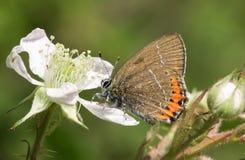 Uma vista lateral de um pruni preto raro de Satyrium da borboleta de Hairstreak empoleirou-se em uma flor da amora-preta que nect Foto de Stock Royalty Free