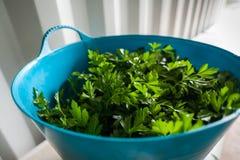 Uma vista lateral que olha em um recipiente azul que guarda a erva recentemente colhida da salsa fotografia de stock royalty free