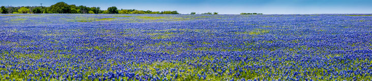 Uma vista panorâmica de alta resolução do ângulo largo de um campo bonito de Texas Bluebonnet famoso Fotos de Stock Royalty Free