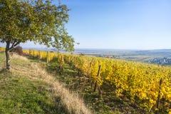 uma vista sobre um vinhedo em Alsácia França na luz do outono Foto de Stock