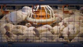 Uma vista superior nas galinhas que descansam dentro de uma grande gaiola de bateria video estoque