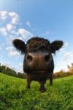 Uma vitela Fotos de Stock