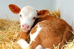 Uma vitela agradável Imagens de Stock Royalty Free