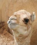 Uma vitela bonita do camelo que olha fixamente na lente Foto de Stock