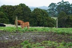 Uma vitela de limousin que olha na câmera, animal agrícola, Otway, Victoria, Austrália Imagem de Stock Royalty Free
