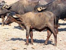 Uma vitela de um búfalo de água asiático doméstico Fotografia de Stock Royalty Free