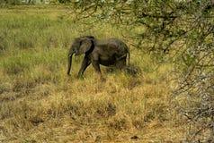 Uma vitela do elefante que anda através da pastagem no parque nacional de Tarangire, Tanzânia imagem de stock