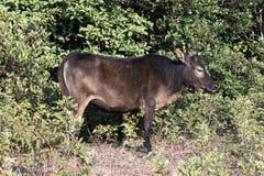 Uma vitela ereta Fotografia de Stock